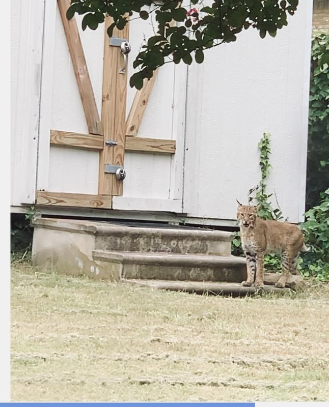 Bobcat enjoys dining in East Dallas