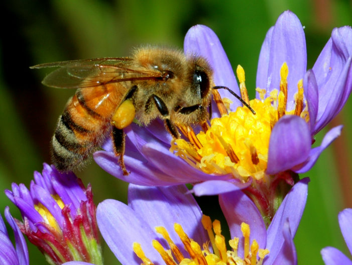 Bees plagued by colony collapse disorder