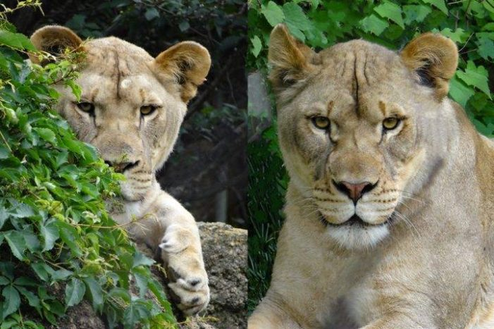 Local sanctuary rescues mistreated exotic cats